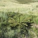 Small photo of Cyathea dregei = Alsophila dregei (Cyatheaceae)