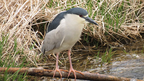Bihoreau à couronne noir - Black crowned night Heron  Lasalle..15 Avril 2012   IMG_0566 by Diane G....Thanks for over 51,000 Views!