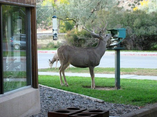 1deer at feeder2 Jan toepfer alameda