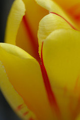 tulip, yellow and red