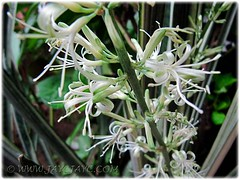 Closeup on flowers of Sansevieria trifasciata 'Bantel's Sensation' - Feb 2012