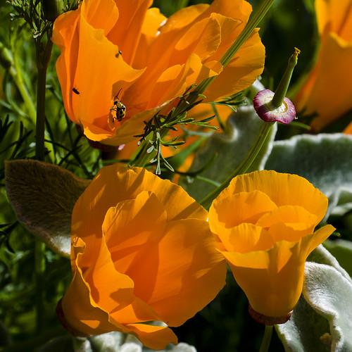 california poppies sanluisobispo eschscholziacalifornica sanluisobispobotanicalgarden