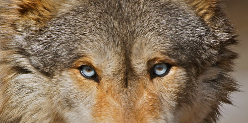 the eyes... of a wolf. by paul m. floyd