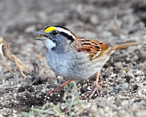 Another White-throated Sparrow