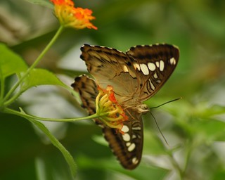 Clipper Butterfly (Parthenos sylvia philippensis)