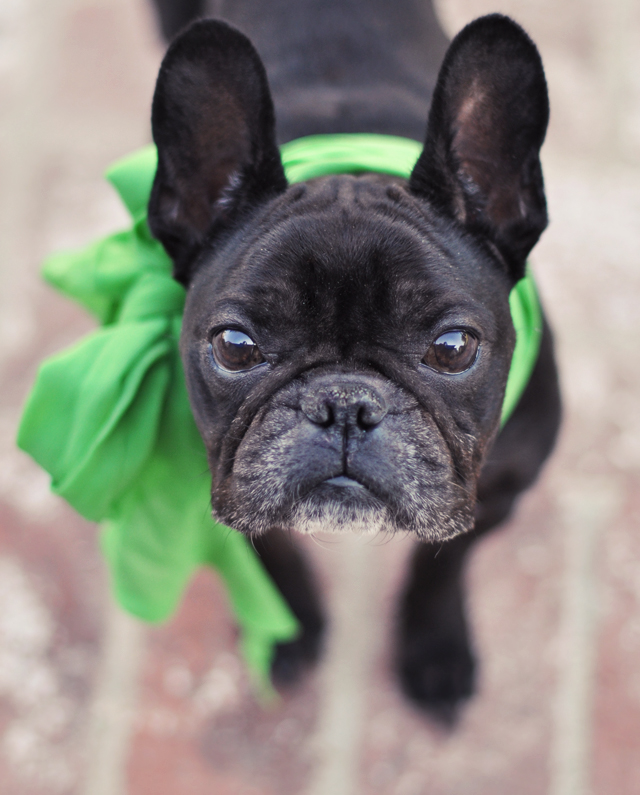 leroy- st patrick's day dogs-french bulldog