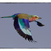 Lilac-Breasted Roller by Carlo Engelbrecht