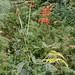 Small photo of Erythrina zeyherii (Fabaceae)