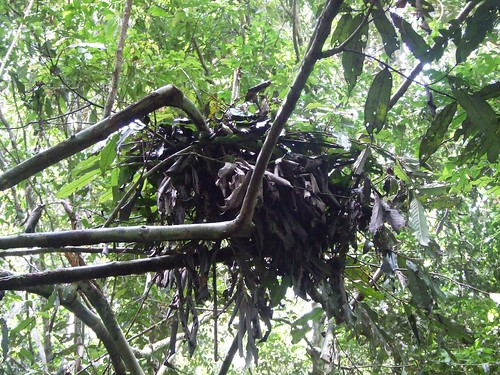 bonobo nest in TL2