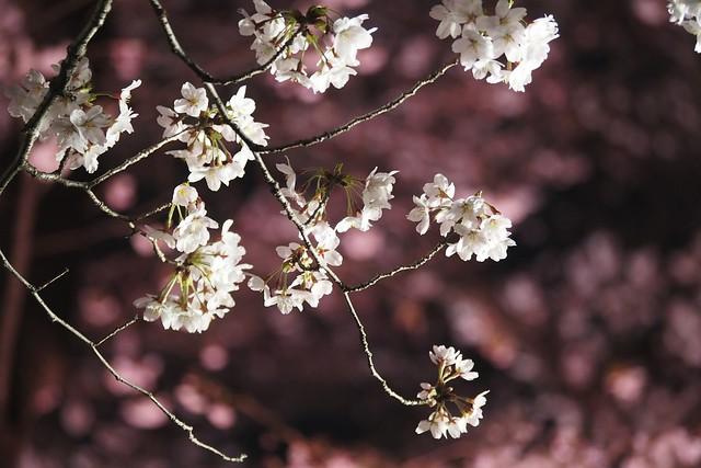 夜桜望遠~近景
