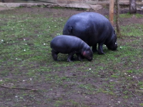 Pigmy hippo and baby