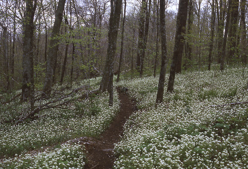 old color forest spring floor tennessee pat north may gap trail transparency carolina fringed appalachian carpets 1980s phacelia arnow sam's patarnowphoto