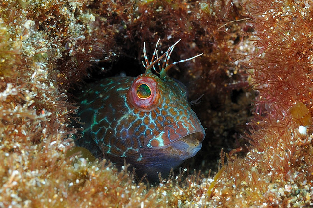 Lanzarote-201202-PlayaChicaBay2-Blenny-Variable1-ParablenniusPilicornis