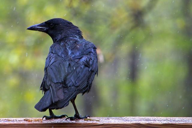 1. The Crow