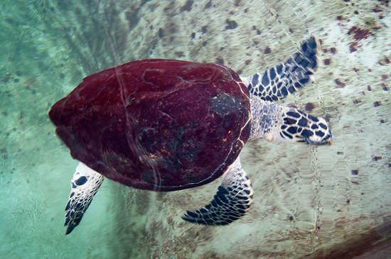 Panama: Turtle