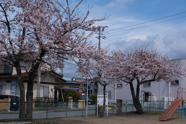 Cherry tree#3