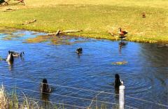 duck duck goose
