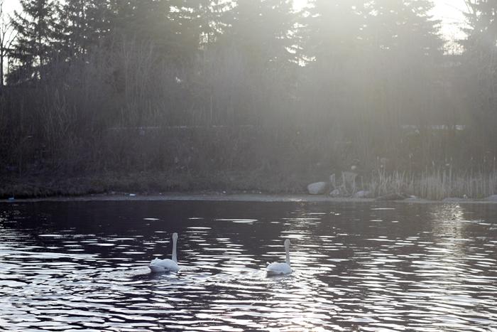 Swan lake (6)