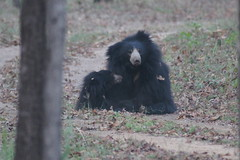 Sloth Bear playing with cub at dusk, Satpura NP, India, April 2014