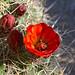 Joshua Tree National Park: Spring