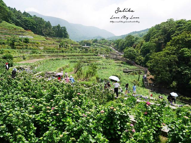 陽明山繡球花大梯田農場 (39)