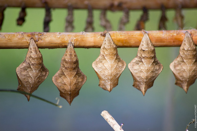 Buterfly cocoons