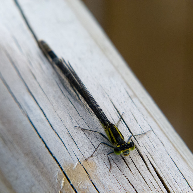 Green: female damsel fly at rest