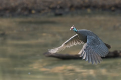 Helmeted guineafowl (Numida meleagris) flying over a pond