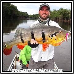 Tucunare-Açú do Rio Negro-AM. Dependendo do rio a coloração do tucunare é mais escura ou mais clara.  #pescaamadora #pescador #pescaesportiva #pescaria #pesca #pesqueesolte #rionegro #amazonia #fishinglures ##fish #fishing #sportfishing #baitcast #flyfish