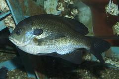 animal, fish, fish, marine biology, fauna, underwater, aquarium,