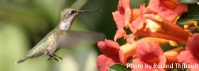 Hummingbird at Powell Gardens