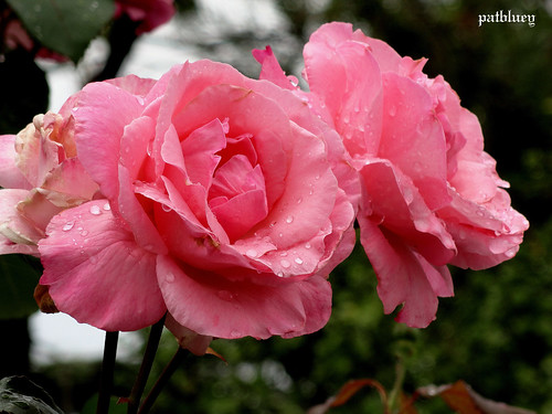 Three pink roses and water drops