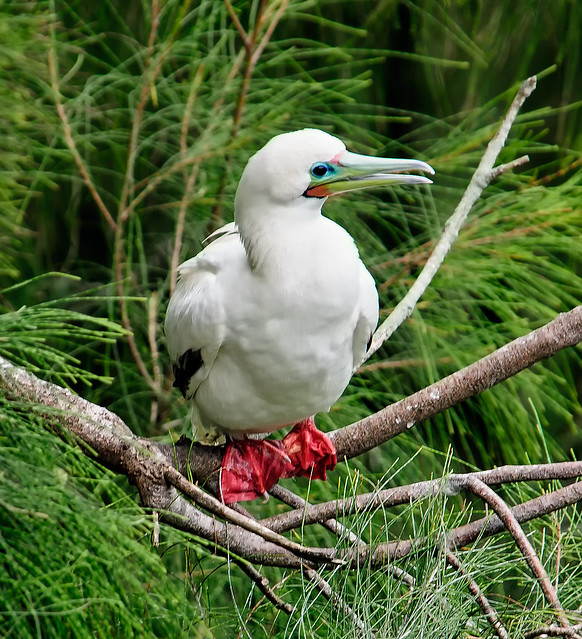 Red-footed booby in tree