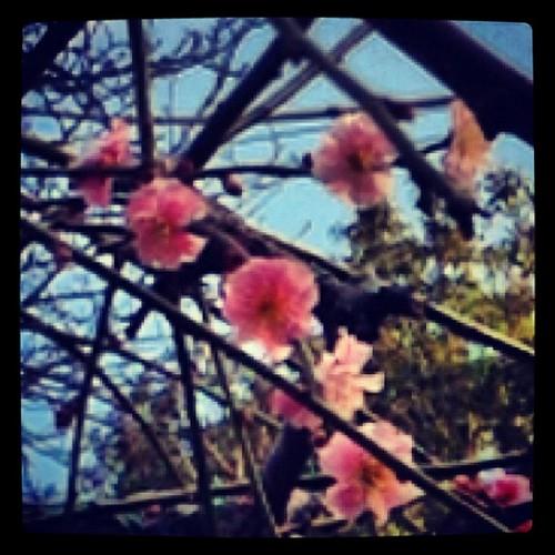 さがり梅も咲き出してた