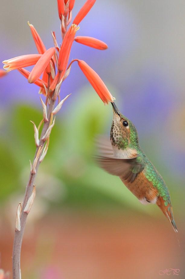 Allen's Hummingbird 031312-2