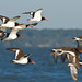 Small photo of American Oystercatcher