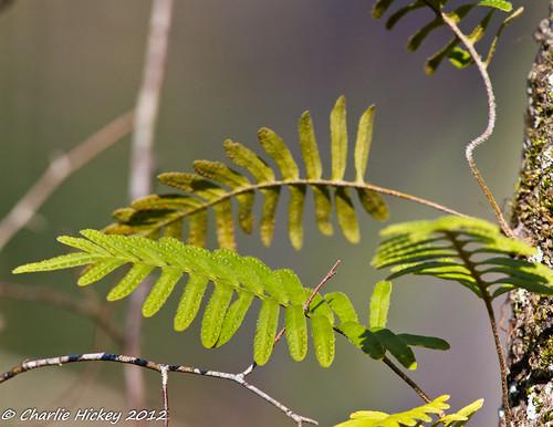 florida polypodiaceae resurrectionfern pascocounty pleopeltispolypodioides polypodiales jaybstarkeywildernesspark scalypolypody b815 alegandrewswindham