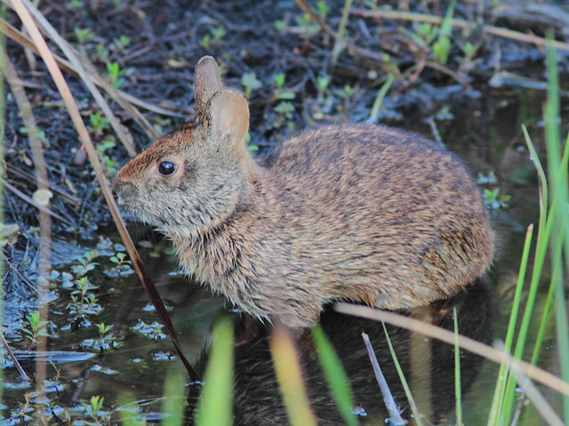 Marsh Rabbit coming out of water 20120323