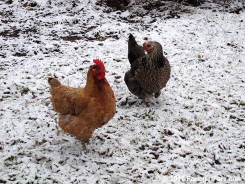 Chickens on snow 2 - FarmgirlFare.com