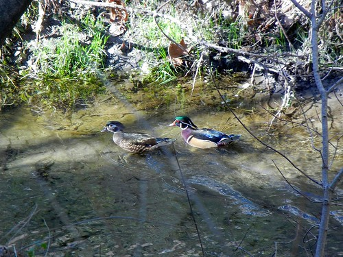 1wood duck2 brian wc