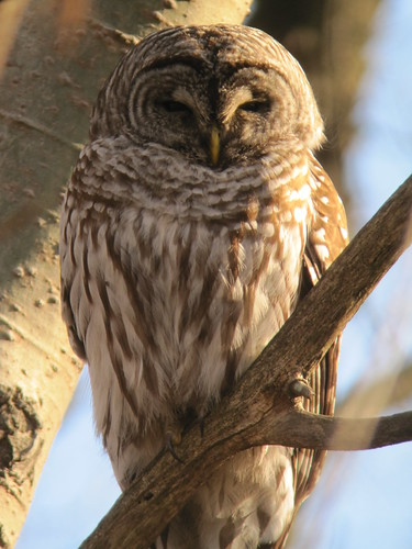 Barred Owl in Wild Goose Woods by Mark Dorriesfield