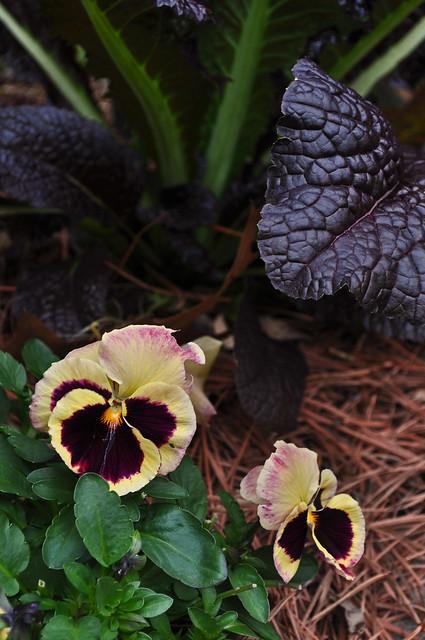 Viola x 'Delta Tapestry'