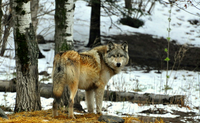 Gray Wolf by Eve's Nature Photography