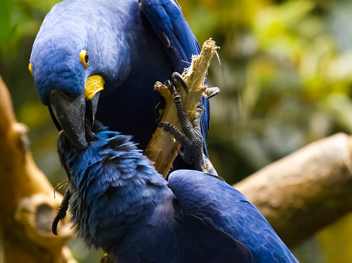Hyacinth Macaws courting by Shiny Dewdrop