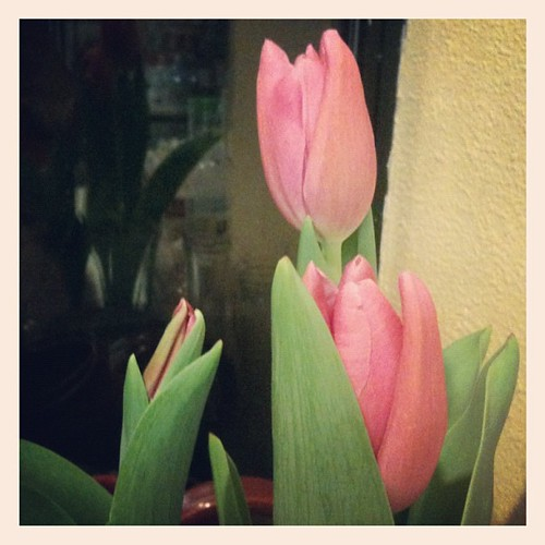 Squee! The tulips Jeff got me for Valentine's Day started blooming!!