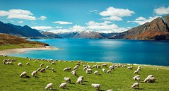 Laneve wool farm in New Zealand