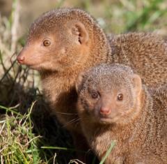 kinkajou(0.0), animal(1.0), mustelidae(1.0), mammal(1.0), fauna(1.0), mink(1.0), wildlife(1.0),