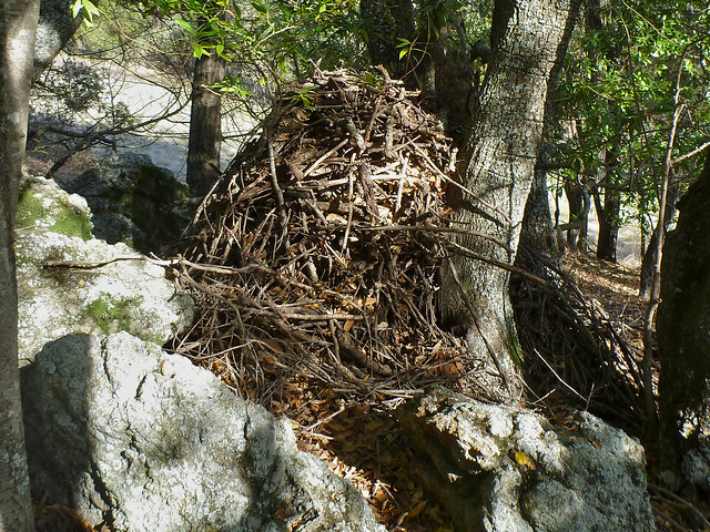 woodrat stick house