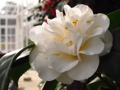 Camellia japonica 'Welbankiana'