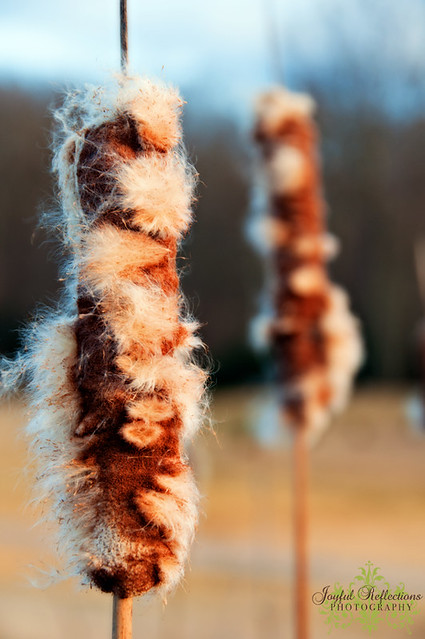 Fuzzy Cattails in the Winter